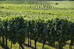 Investir dans les vignes, un placement intéressant